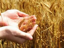 Закупаем зерно фуражное по всем областям РБ. Платим сразу!