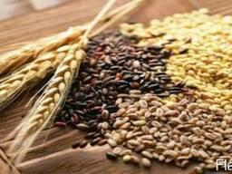 Закупаем Зерно Фуражное(ячмень, пшеница, тритикале)