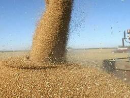 Закупаю фуражное зерно(ячмень, пшеницу, тритикале, овес)