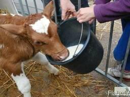 ЗЦМ - заменитель цельного молока для телят