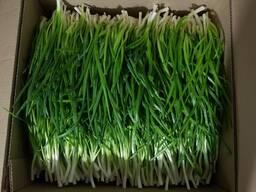 Зелень, лук зеленый