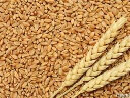 Закупаем зерно фуражное, пшеница и ячмень