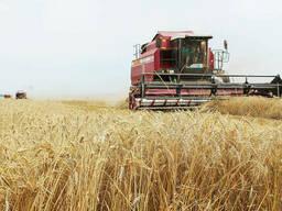 Зерно фуражное в больших объемах!