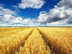Зерно продовольственное и фуражное