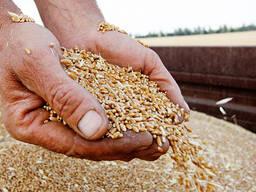 Кукуруза овес рожь ячмень - 2021