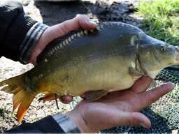 Живая рыба (карп, амур, толстолобик)