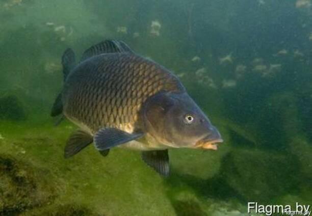 Живая рыба (карп, амур, щука, щука, осетр)